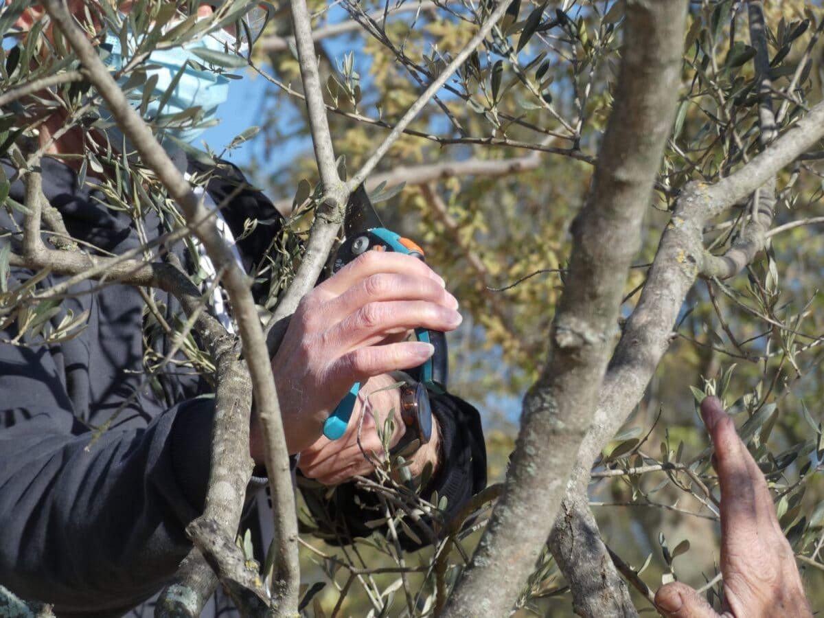 Initiation à la taille de l'olivier ©Radio RG30