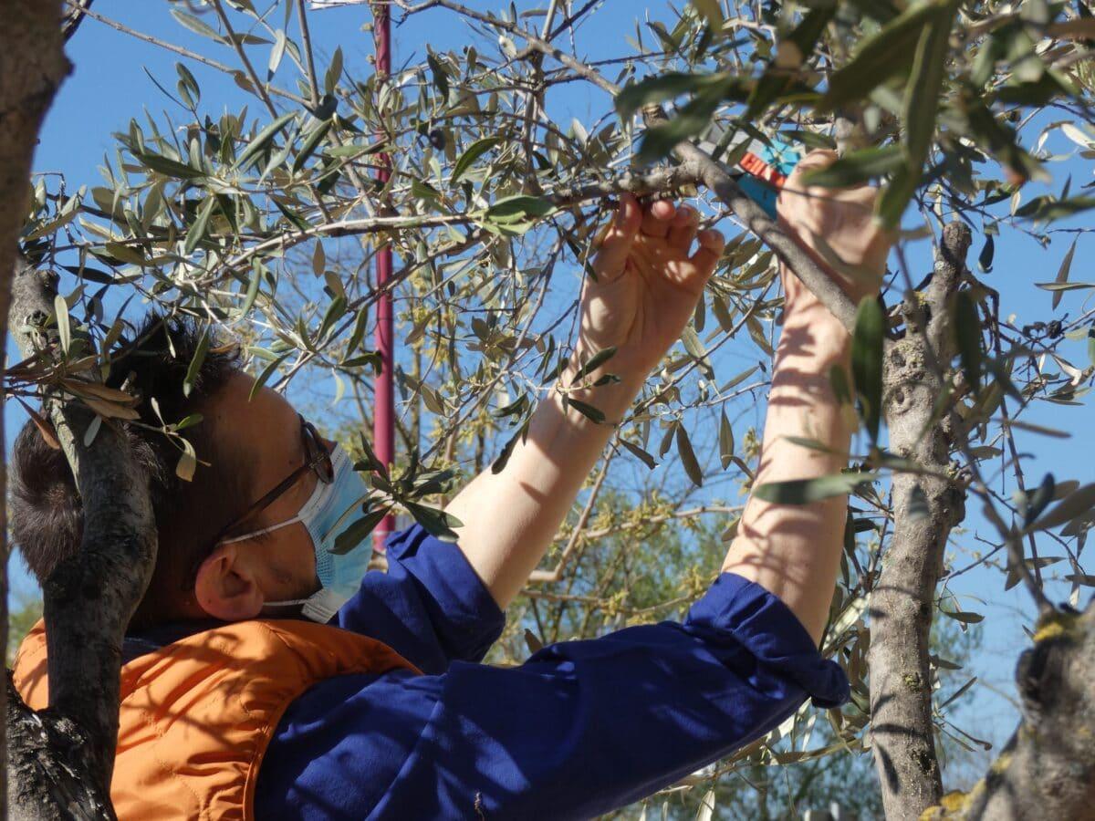 Montfrin : Initiation à la taille de l'olivier